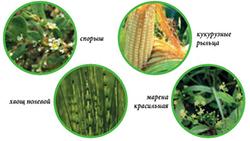 состав трав в фитолизине при цистите
